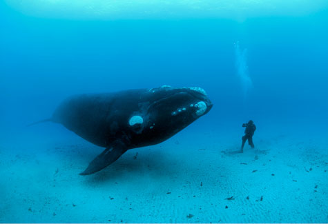 rightwhale
